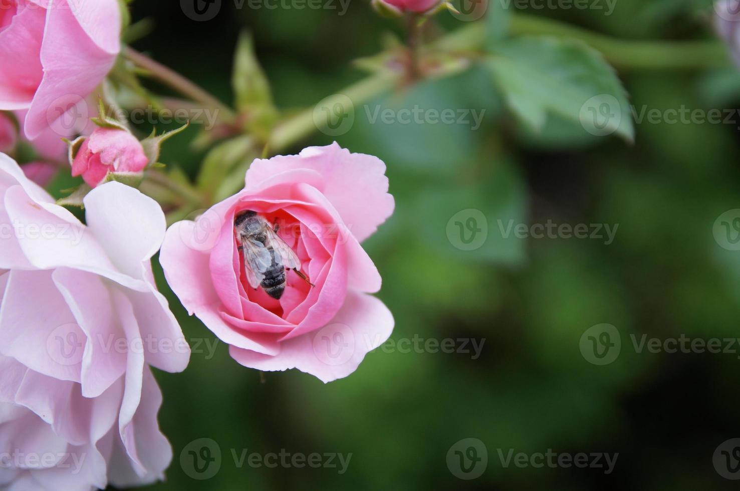la rose et l'abeille ... photo