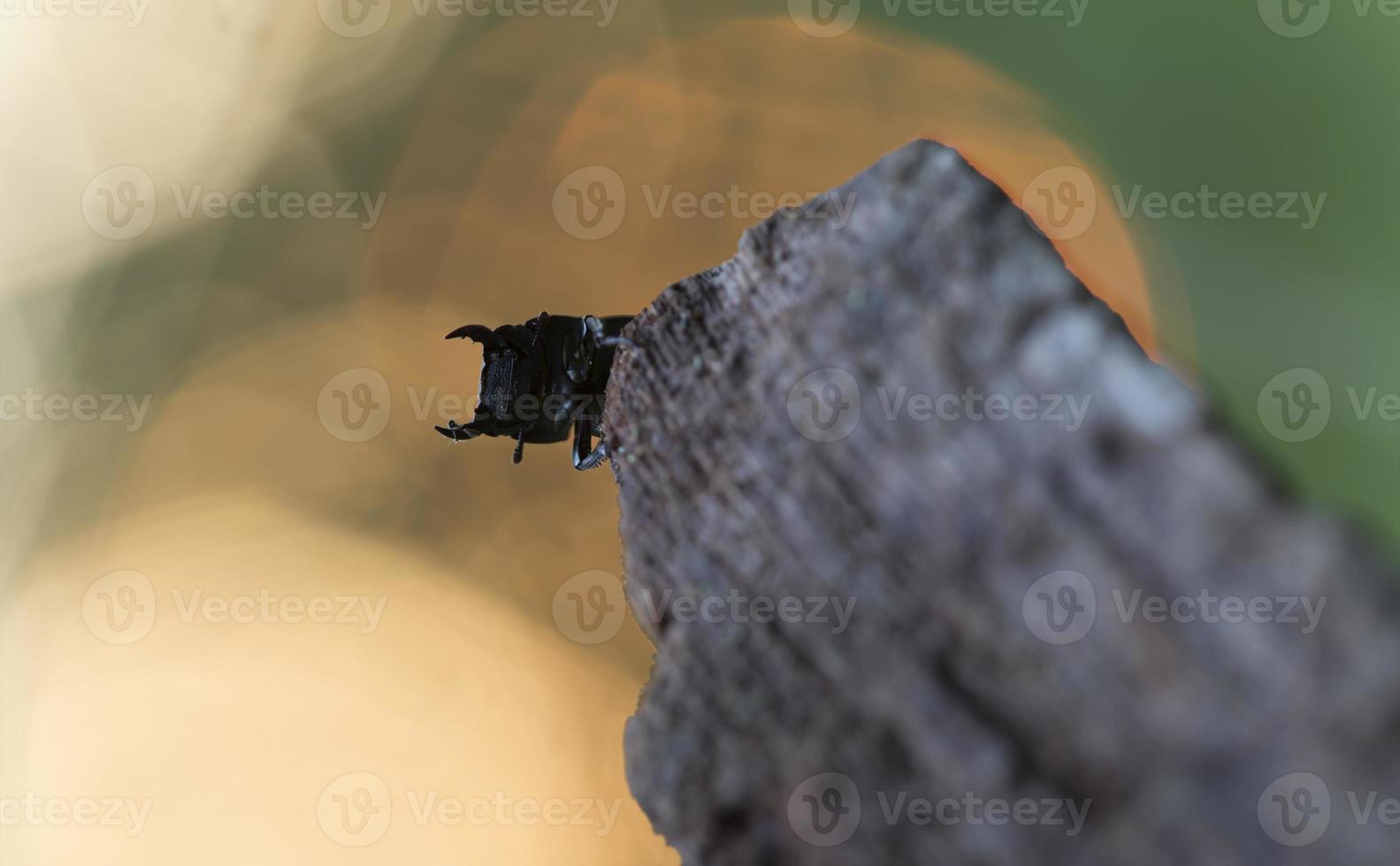 petit dendroctone du cerf, dorcus parallelipipedus sur bois photo