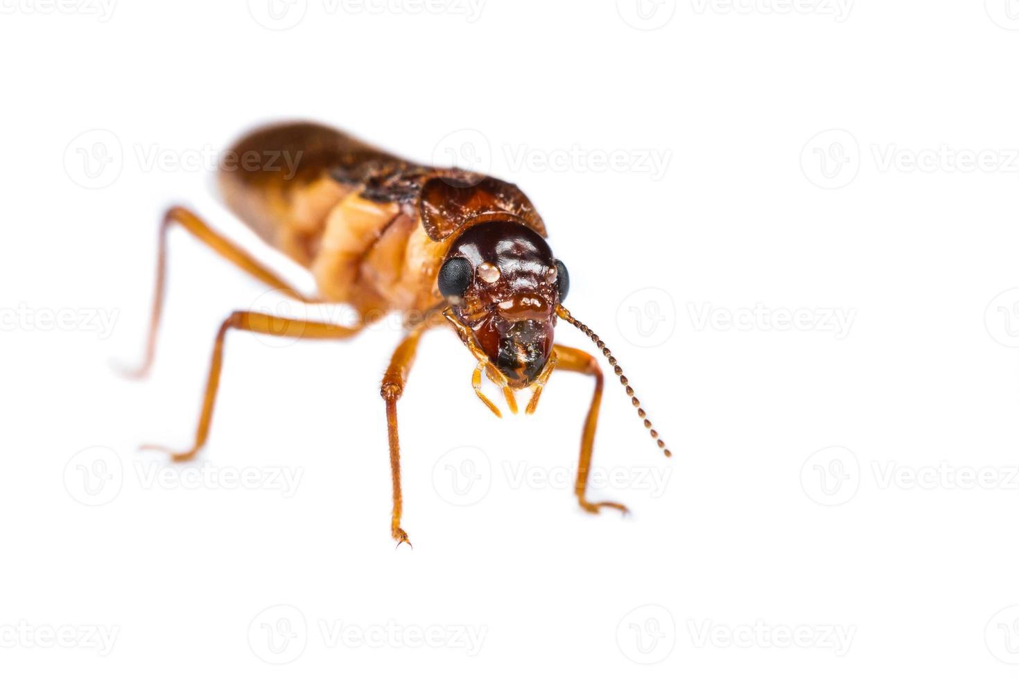 fourmi blanche termite isolée photo
