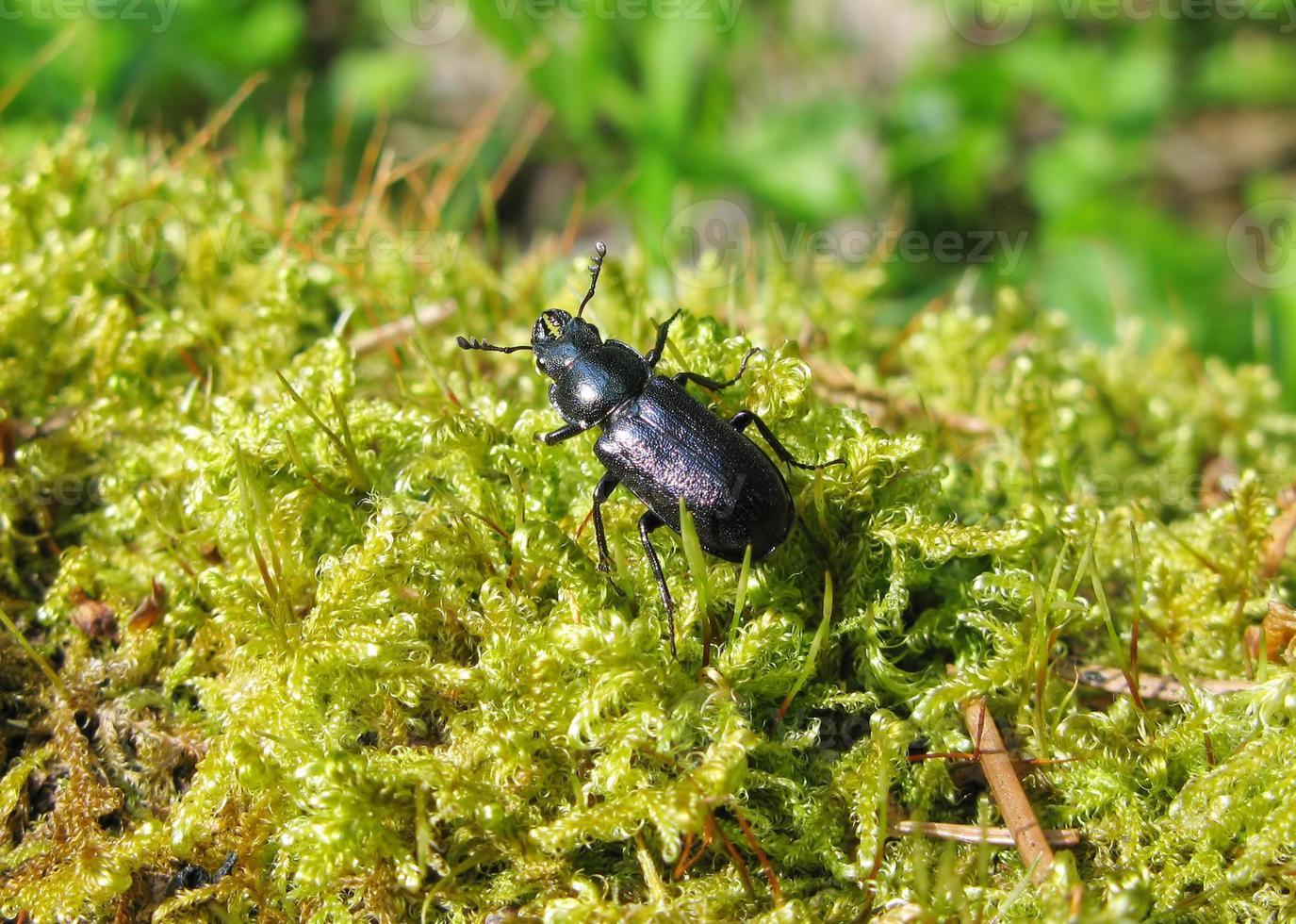 insecte coléoptère bleu dans la mousse photo