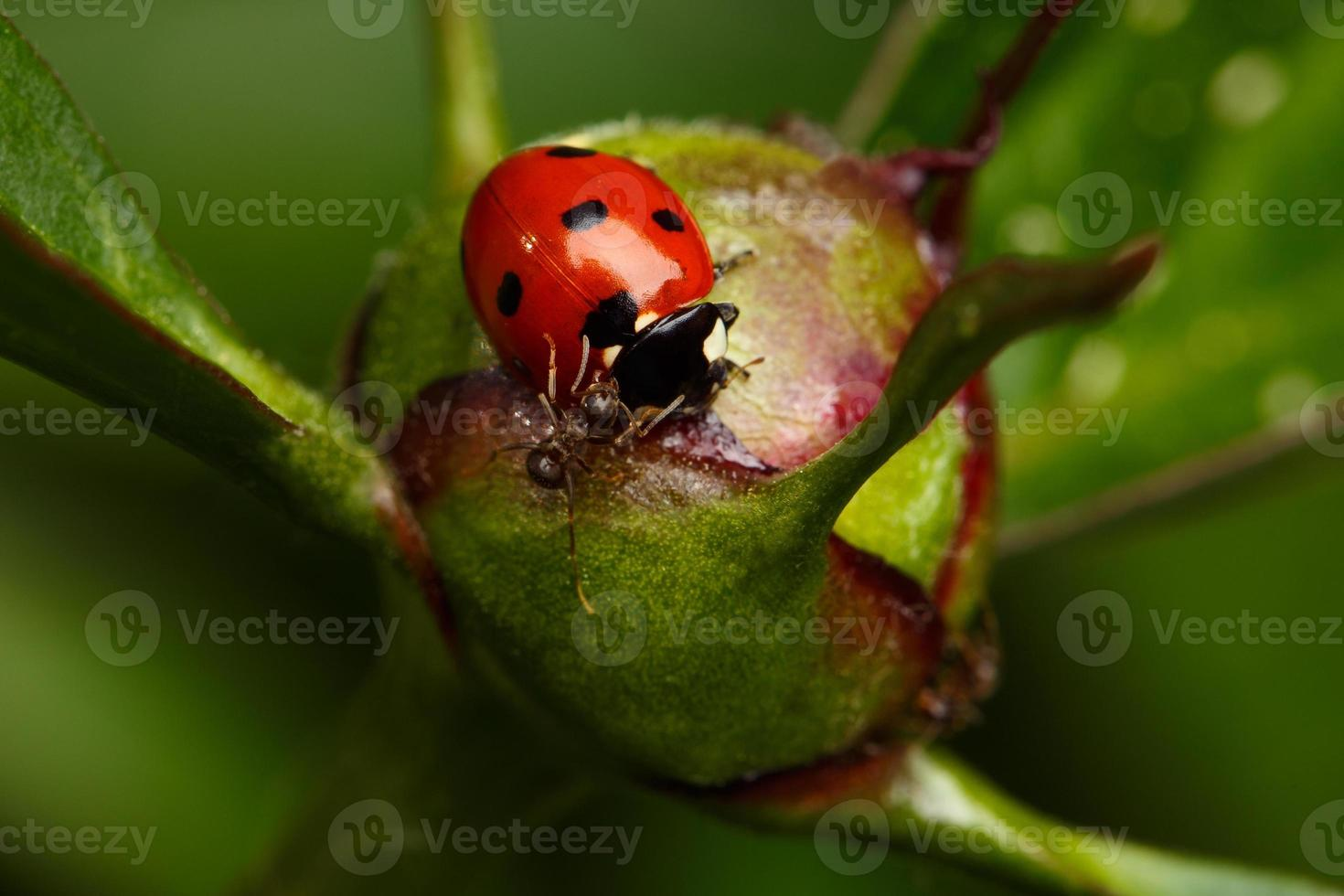 coccinelle attaque de fourmis sur bouton floral photo