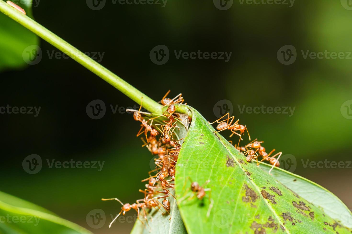 le travail d'équipe des fourmis rouges photo