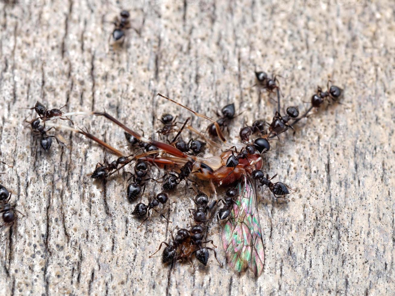 les fourmis noires dévorent un insecte photo