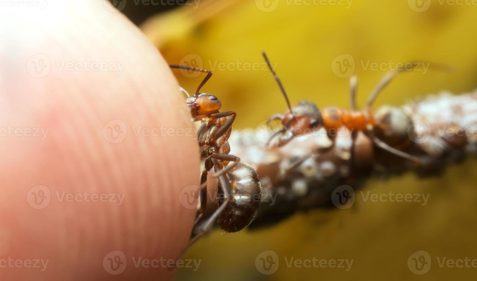 fourmis des bois, formica gardant les pucerons et attaquant le doigt humain photo