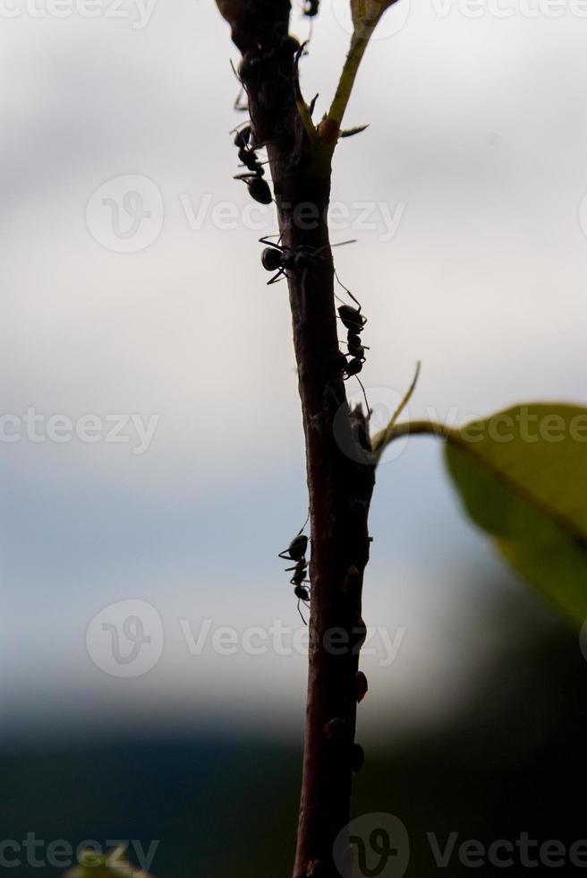 fourmis sur branche photo