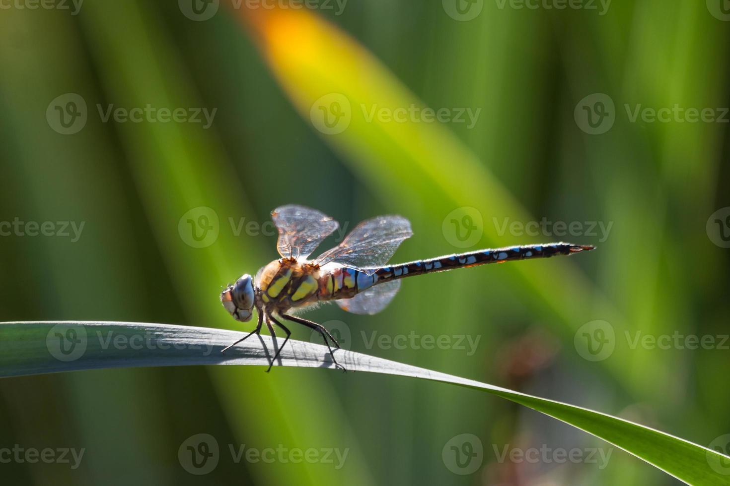 libellule dans le jardin photo