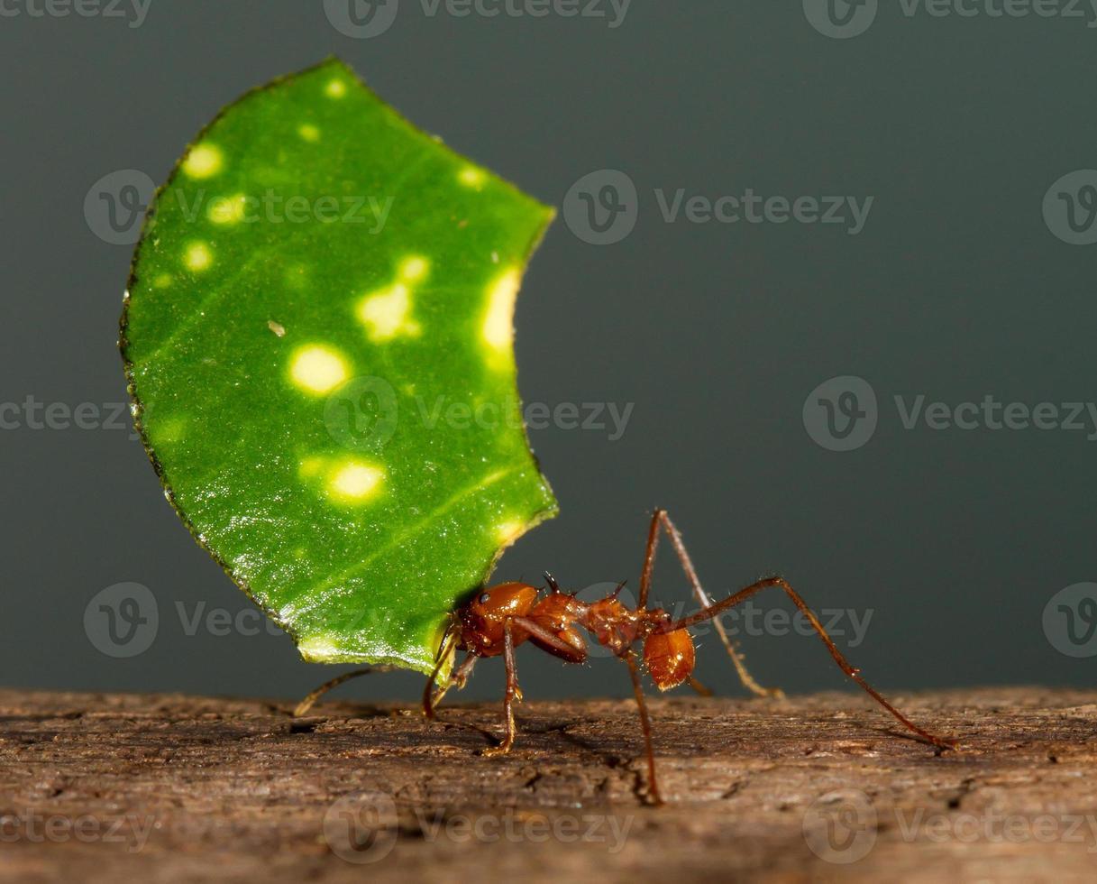 fourmi coupe-feuilles photo