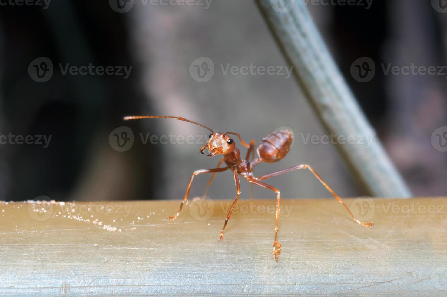 fourmi macro bouchent photo