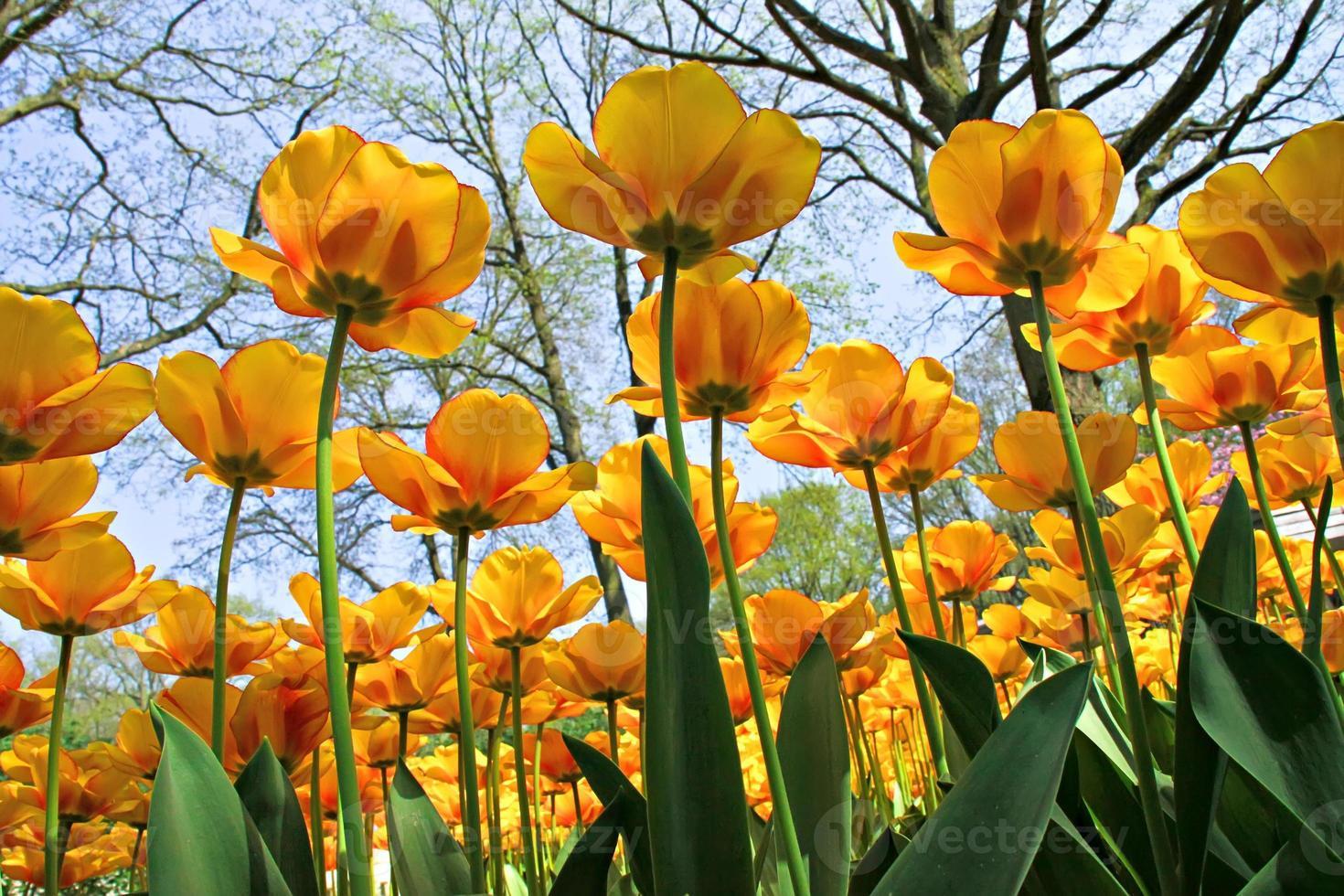 vue de fourmi de tulipes jaunes photo