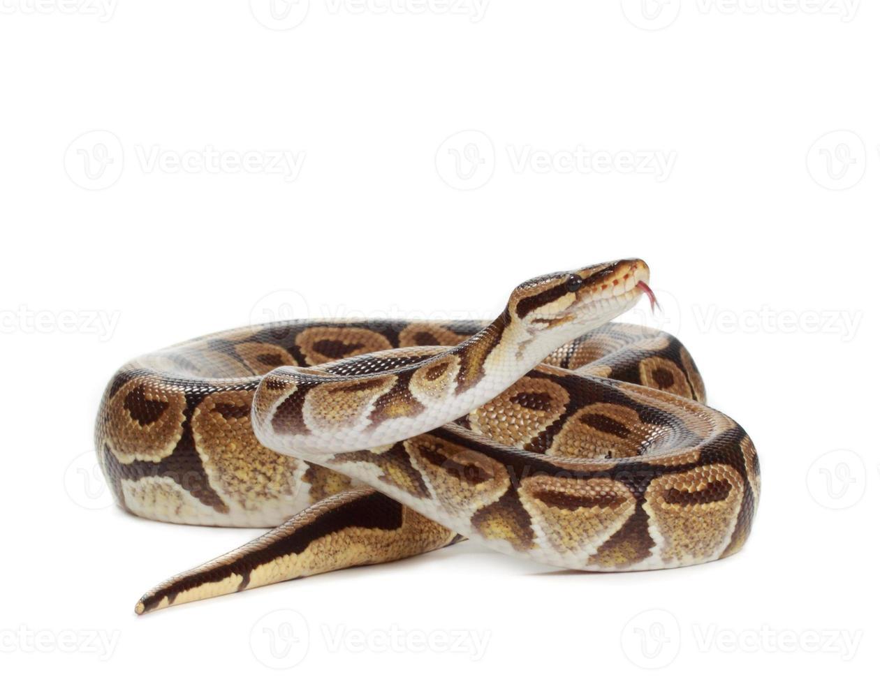 python royal photo