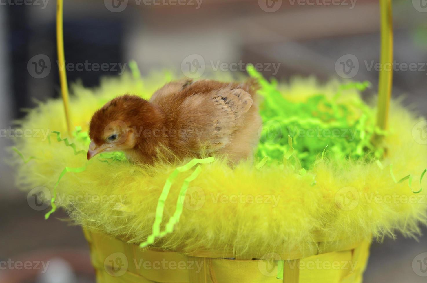 poussin de Pâques photo