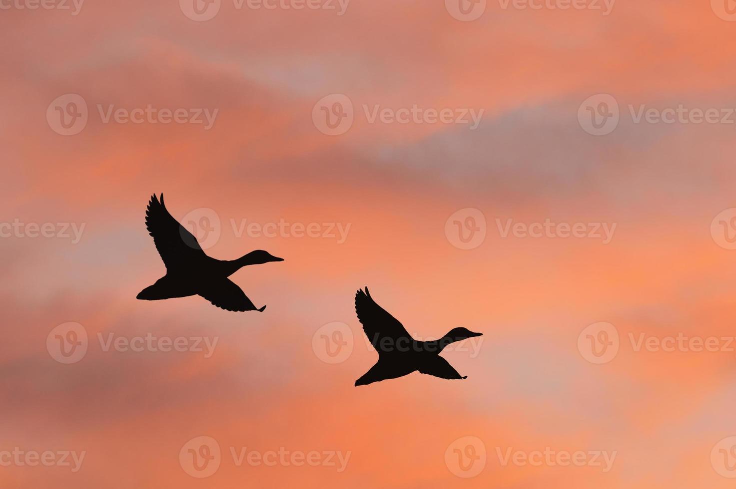 silhouette de canards contre le ciel de lever du soleil photo