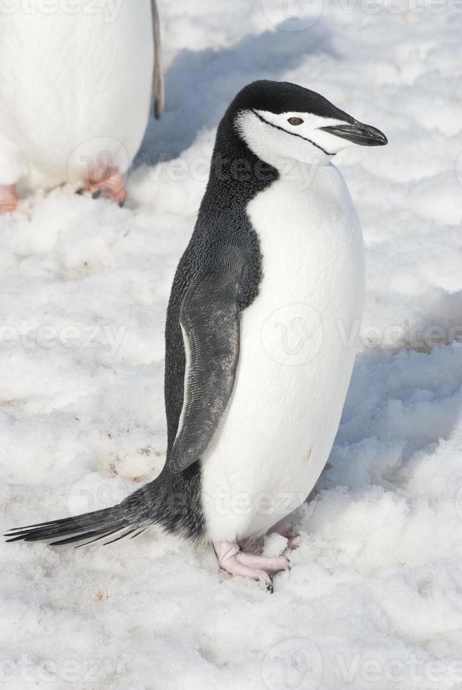 pingouin antarctique jour de printemps lumineux. photo