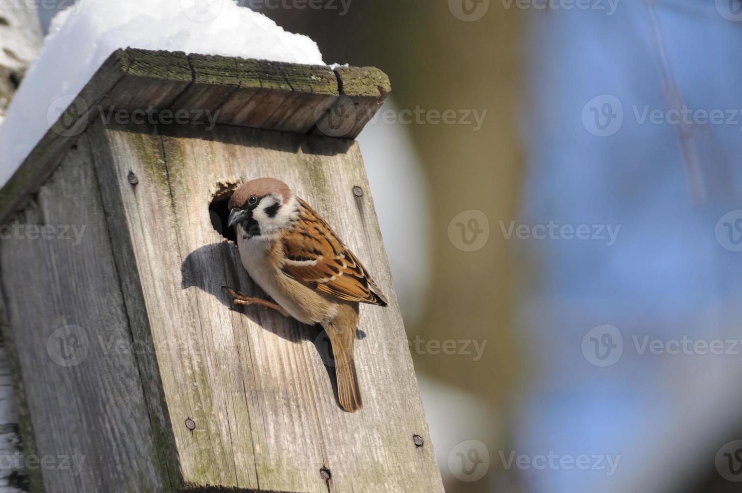 à la fin de l'hiver, le moineau des arbres étudie les possibilités de nidification photo