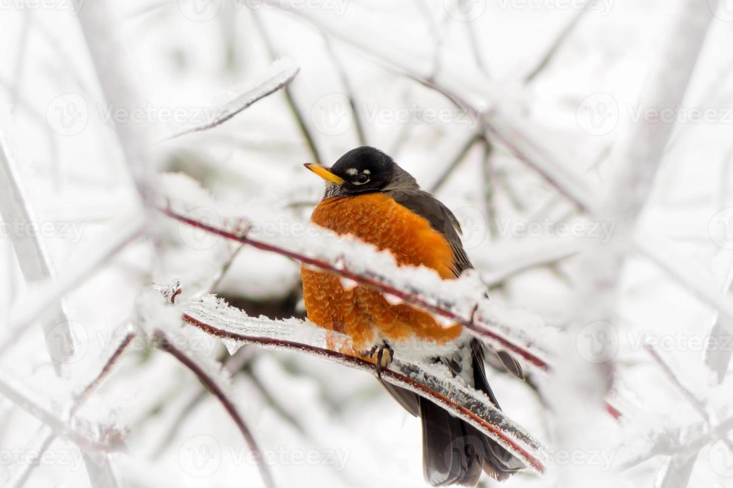 Robin dans la tempête de verglas - sous l'angle photo