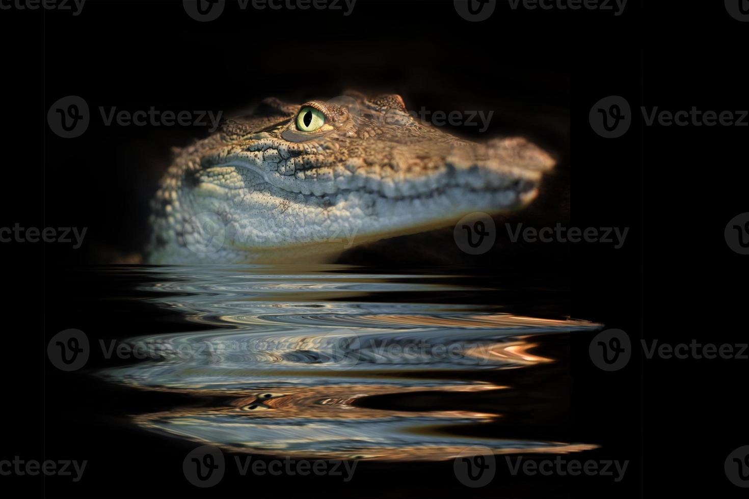 alligator portrait photo