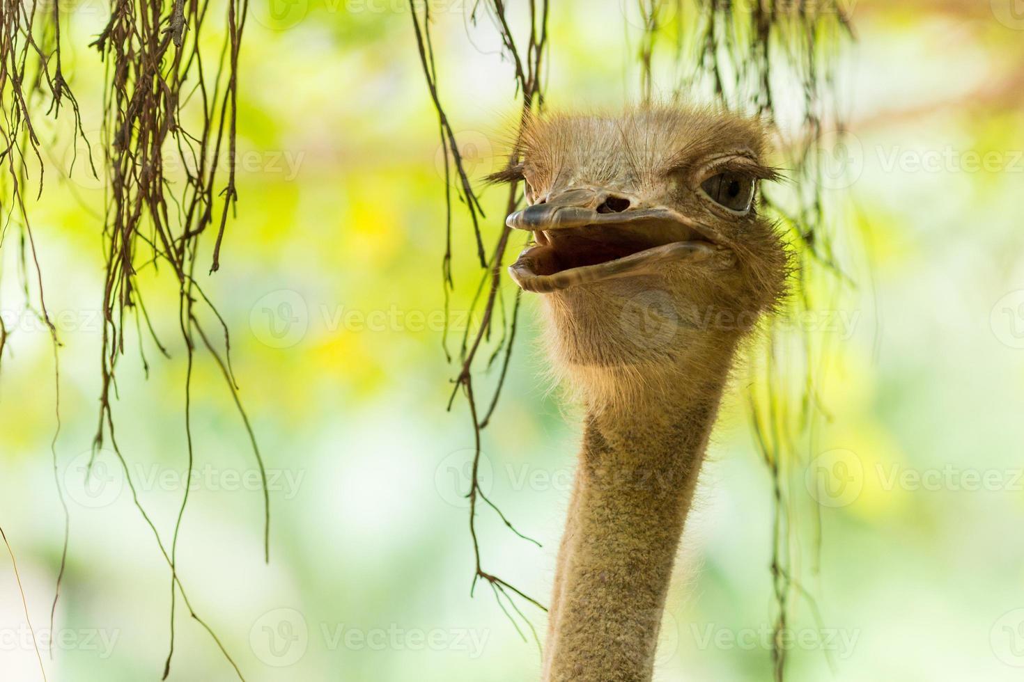 oiseau d'autruche. photo