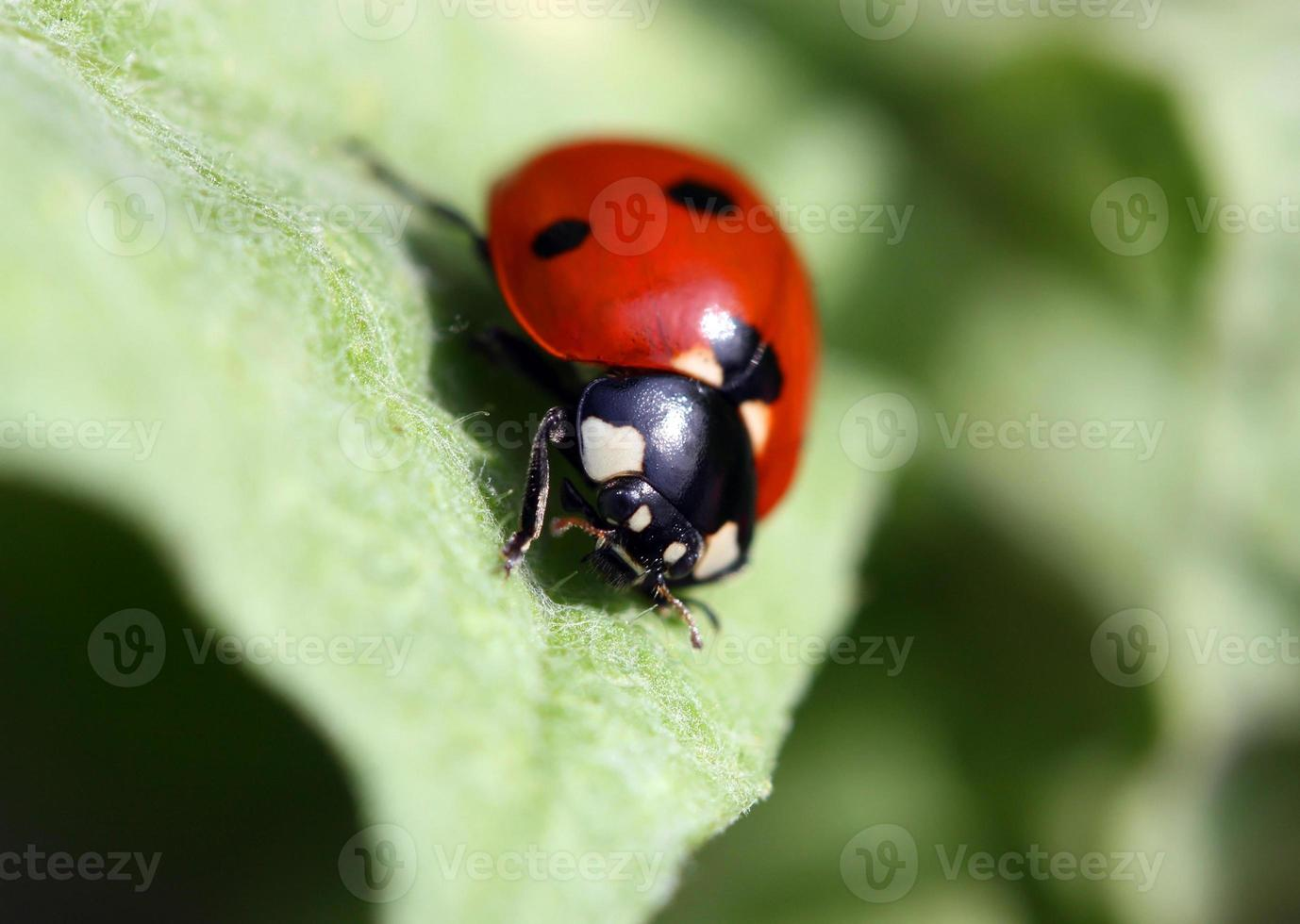 coccinelle rouge photo