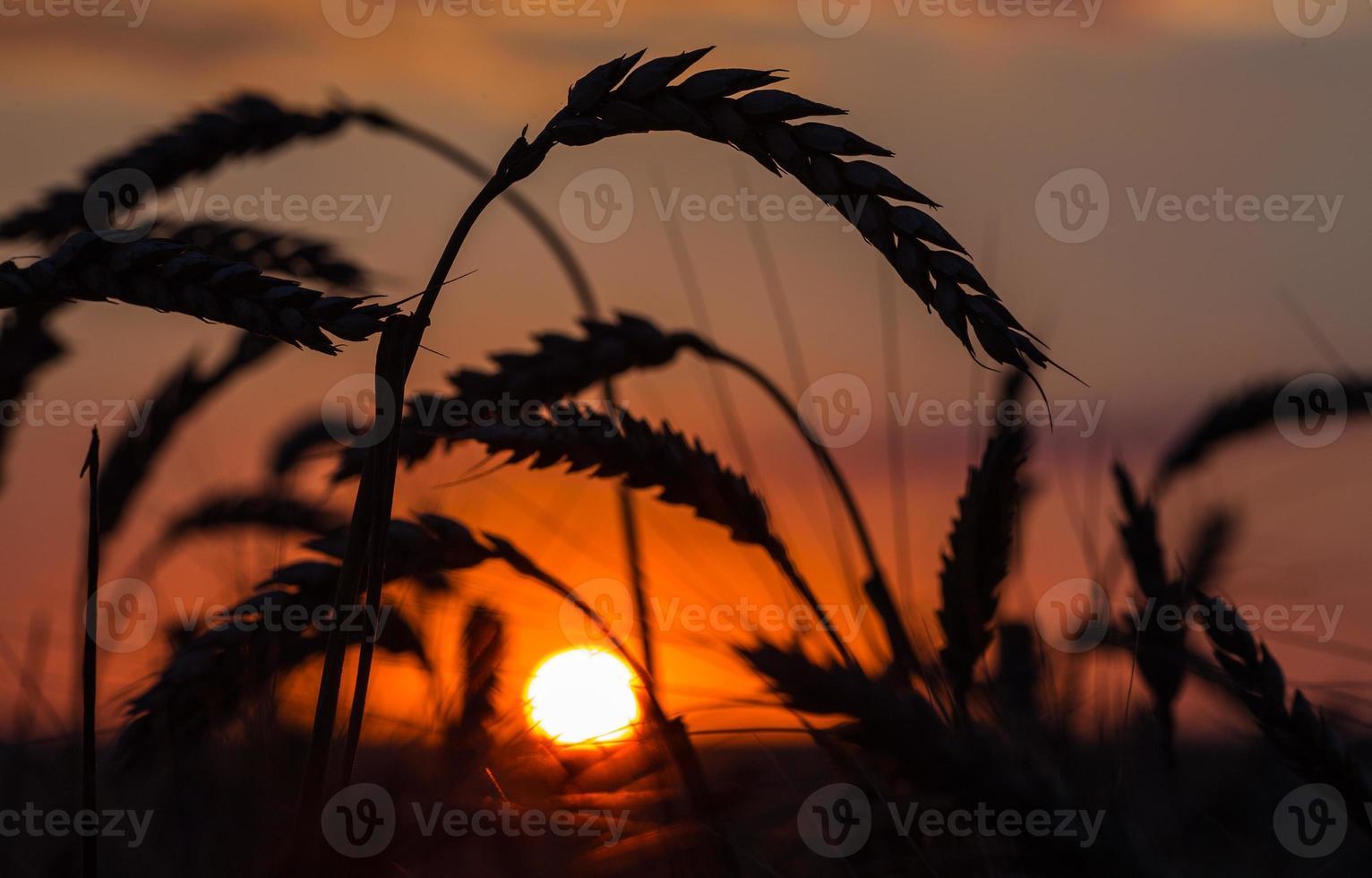 silhouette d'herbe contre le coucher du soleil photo