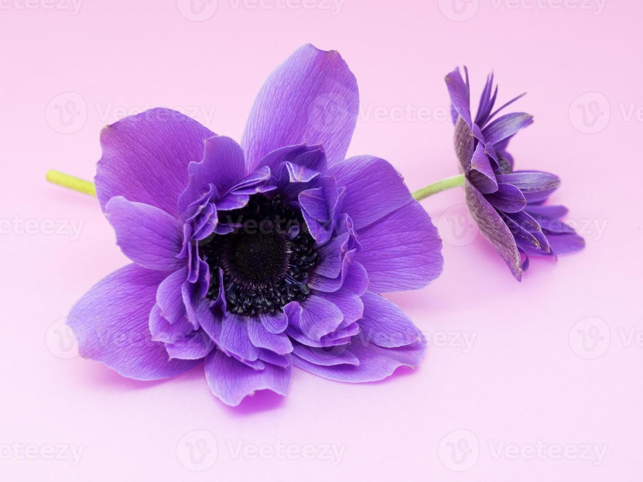 belle anémone violette photo