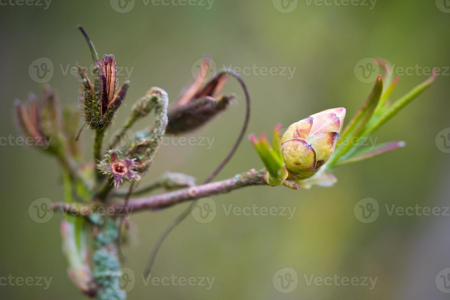 Rhododendron en fleurs photo
