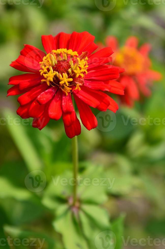 fleur colorée rouge dans la nature photo