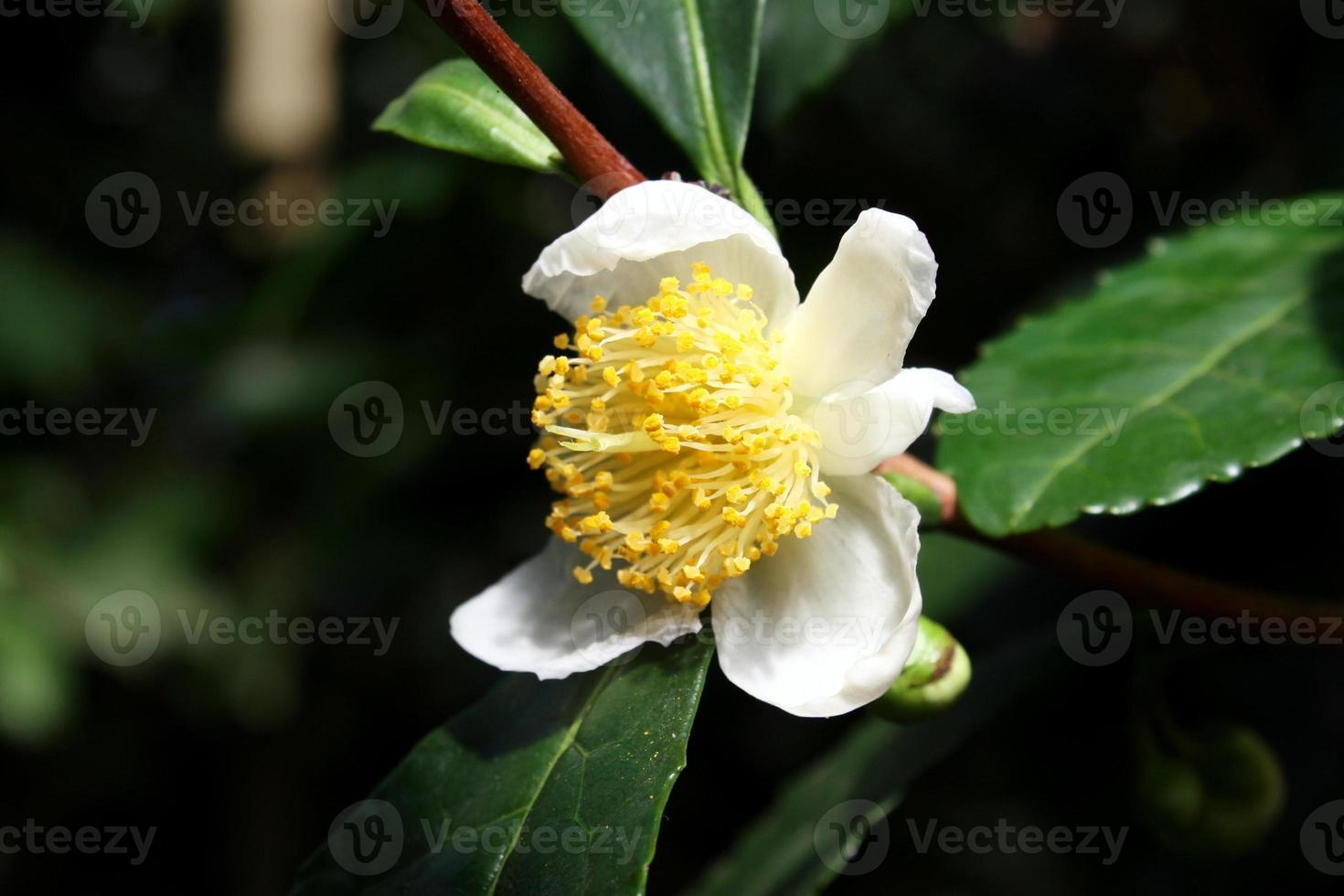 camelia sinensis flower - fleur de thé photo