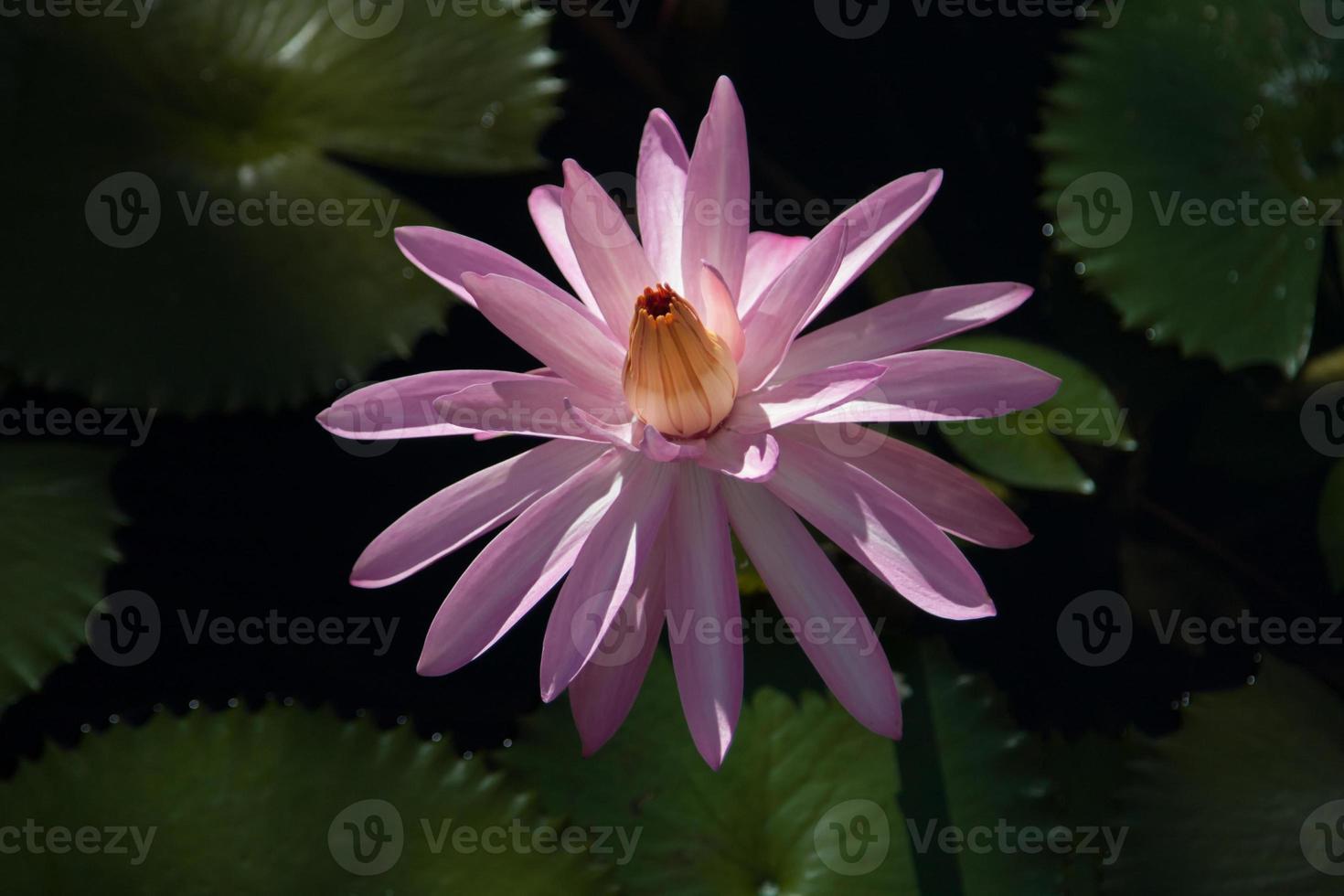fleur de lotus fidji photo