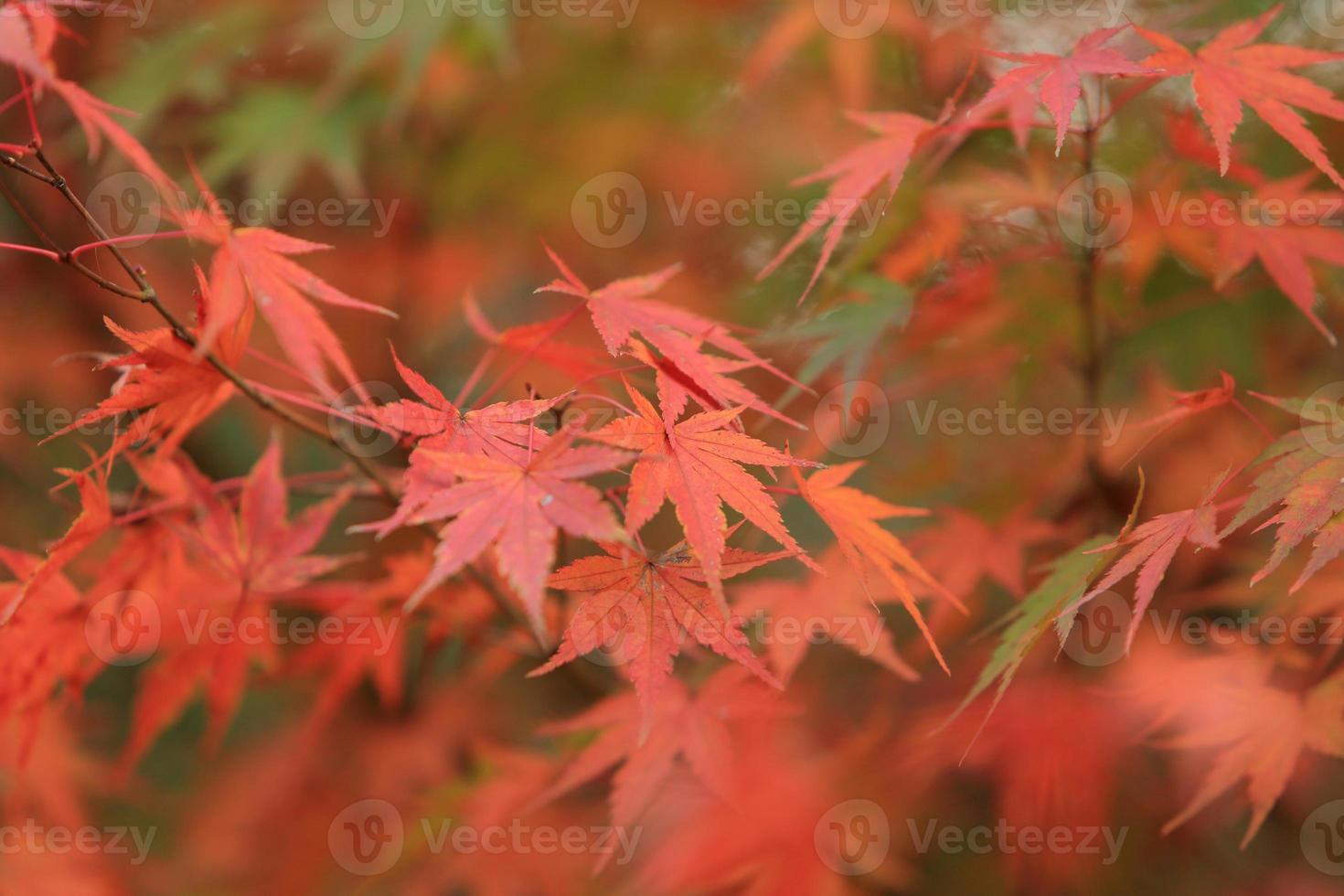 érable japonais. photo