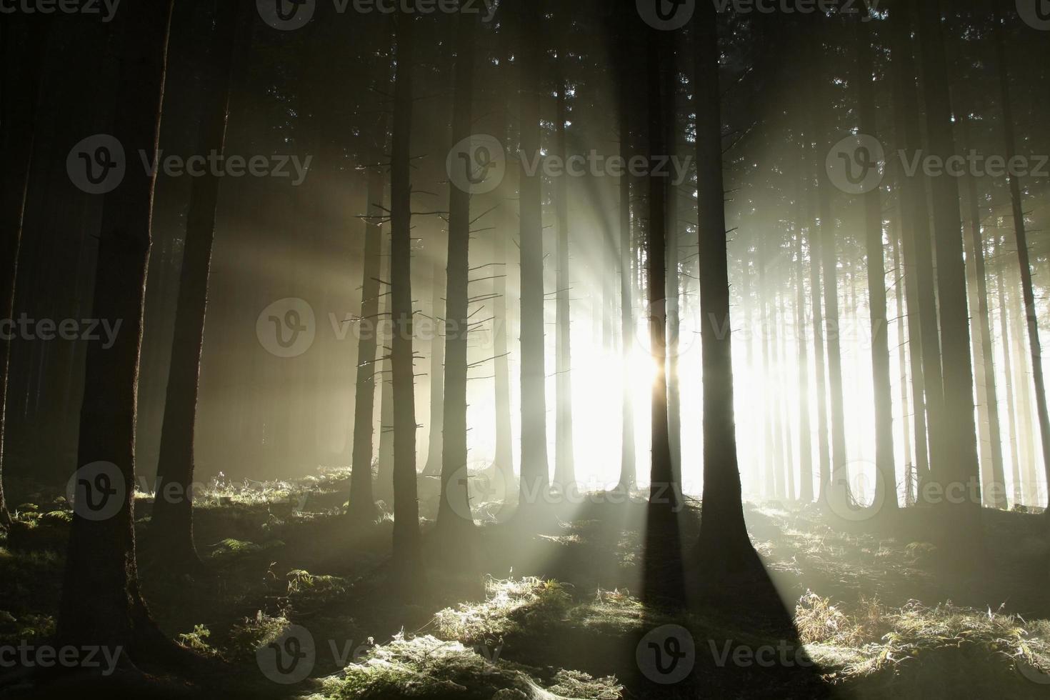 matin ensoleillé brumeux dans les bois de conifères photo