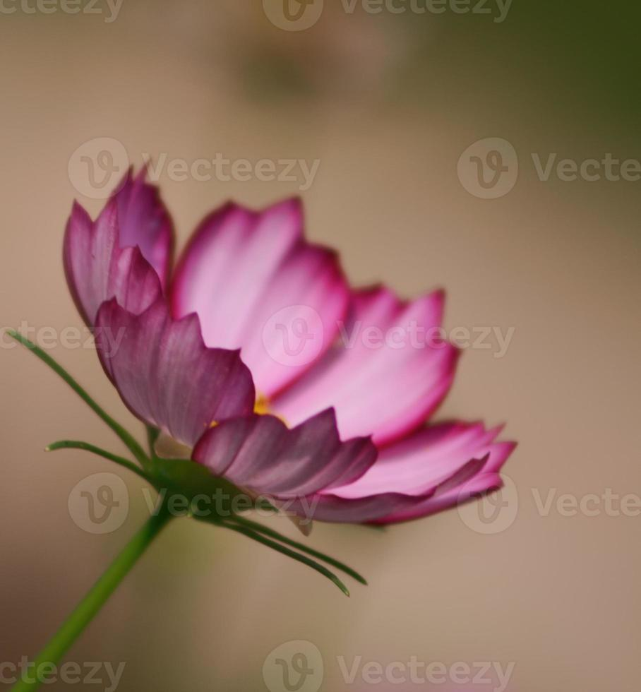 fleur cosmos picotee rose photo