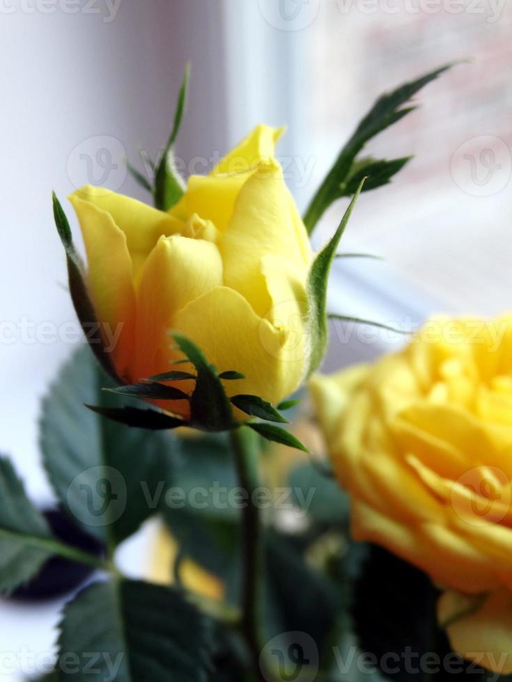 mini bouton de rose jaune photo