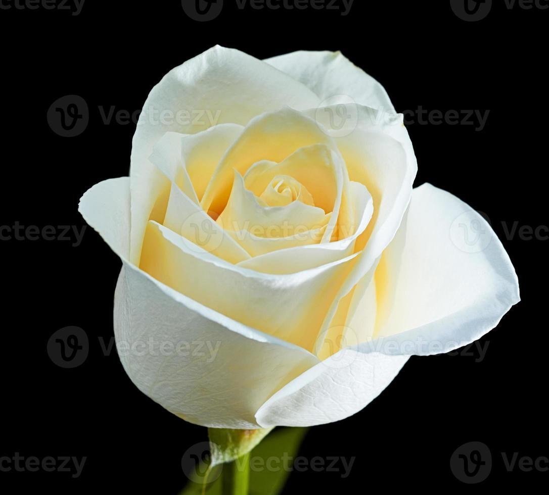 rose blanche en pleine floraison sur fond noir photo
