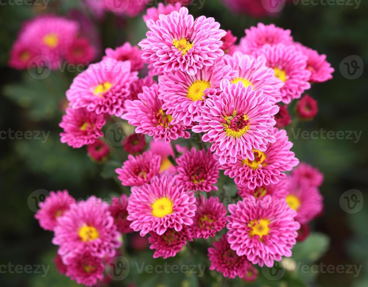 fleurs de chrysanthèmes photo