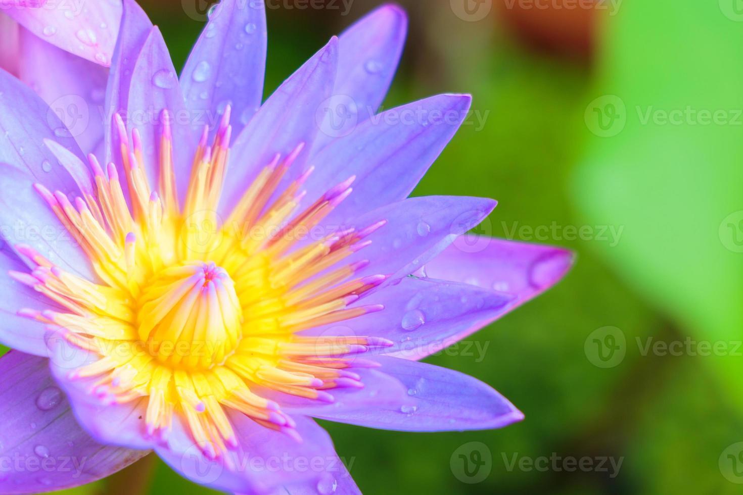 fleur de lotus photo