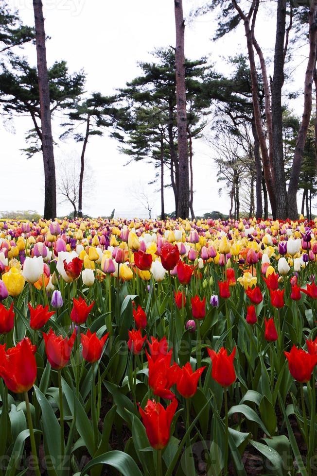 fleur de tulipes photo