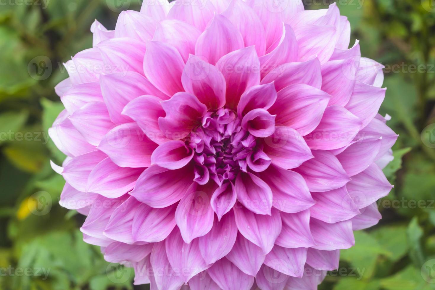 fleurs de dahlia photo