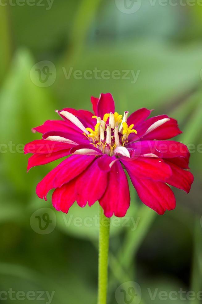 fleurs de zinnia photo