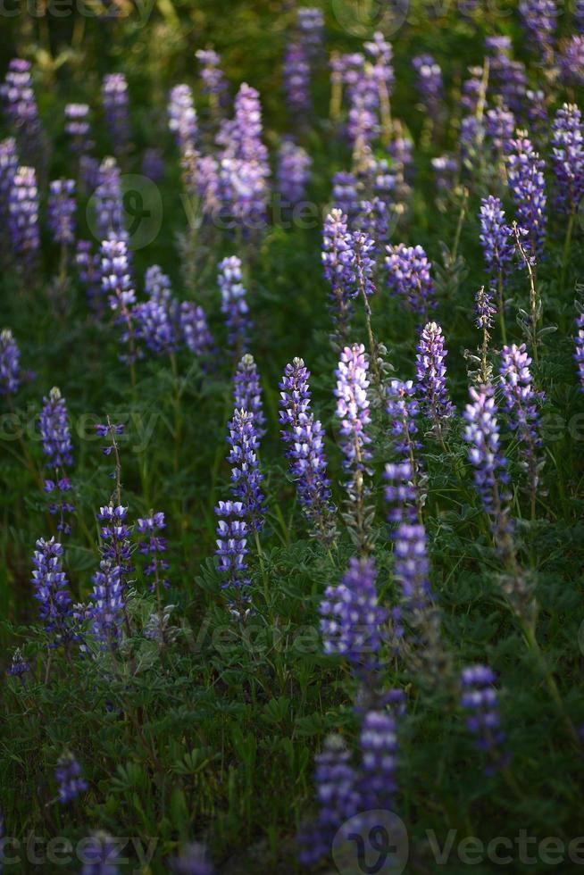 fleur de lupin photo