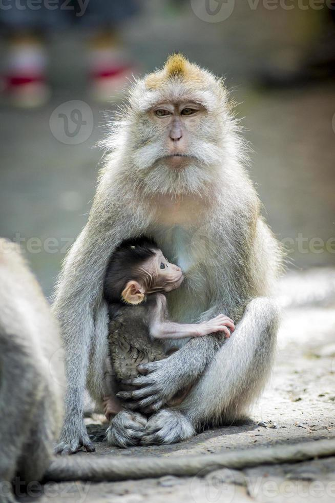 macaque à longue queue avec son bébé photo