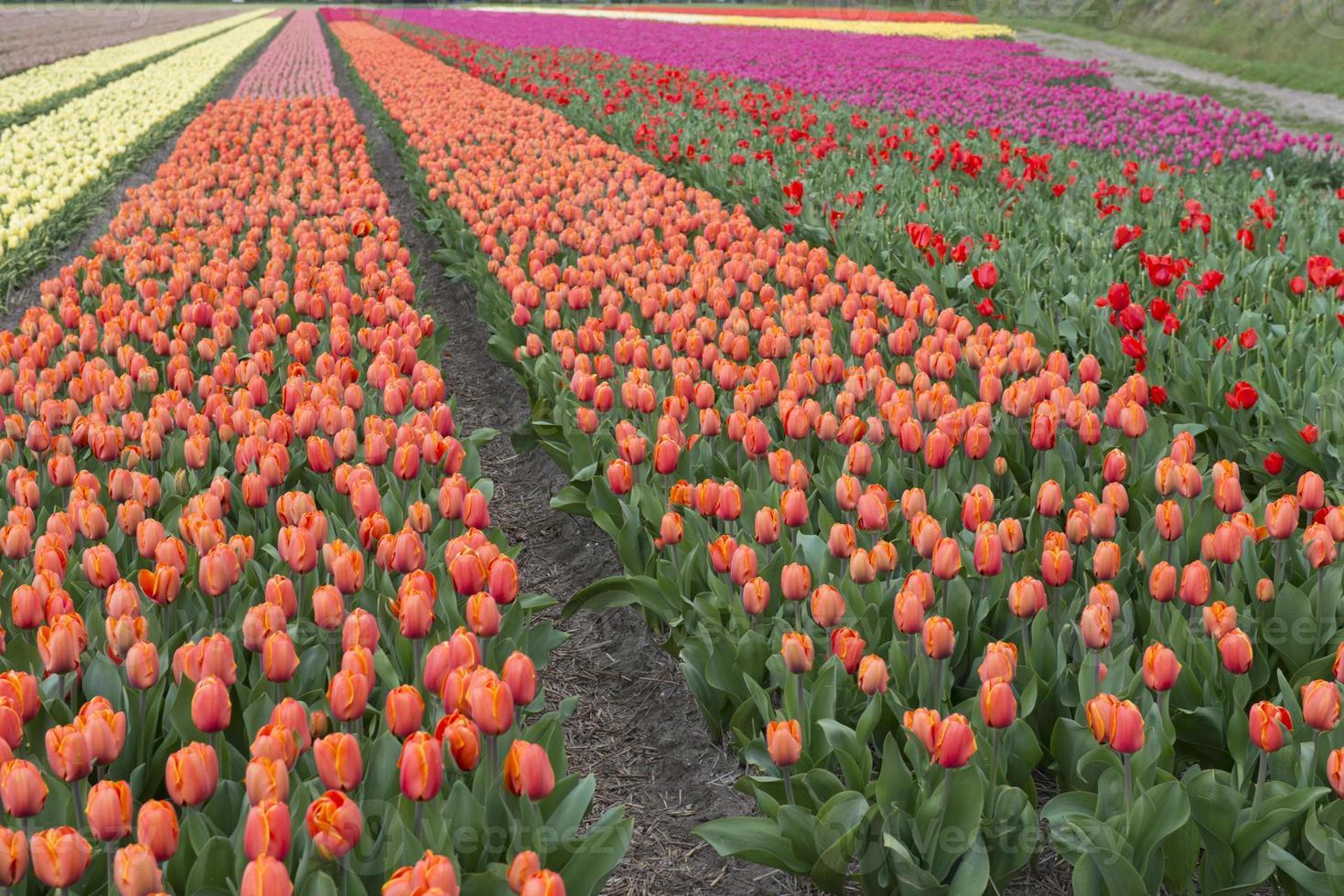 culture de tulipes photo