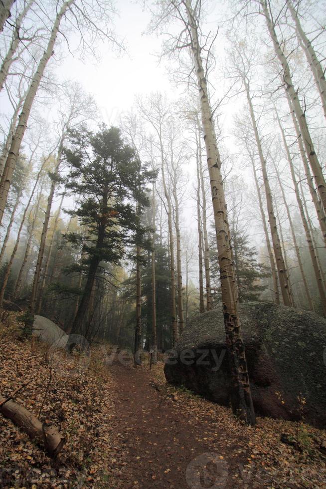 forêt de trembles brumeux à l'automne photo