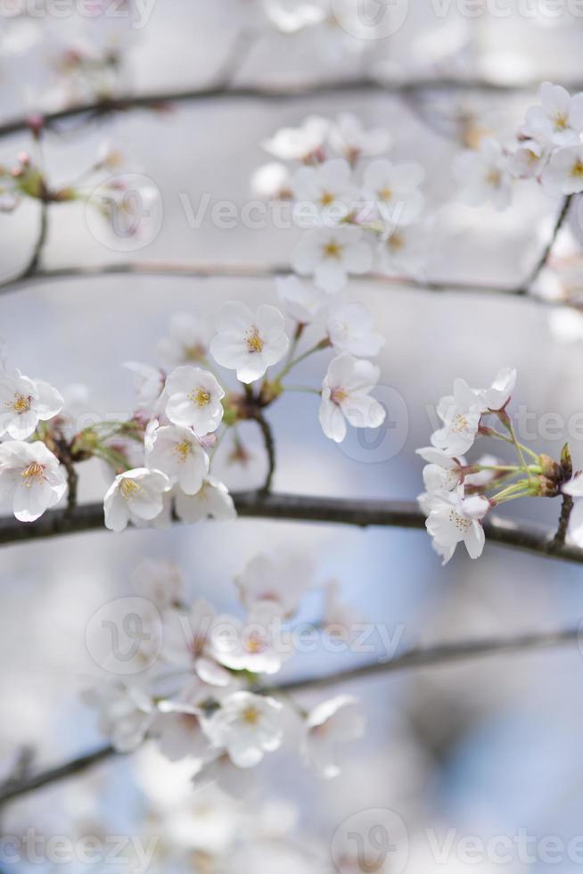 image de fleur de cerisier photo
