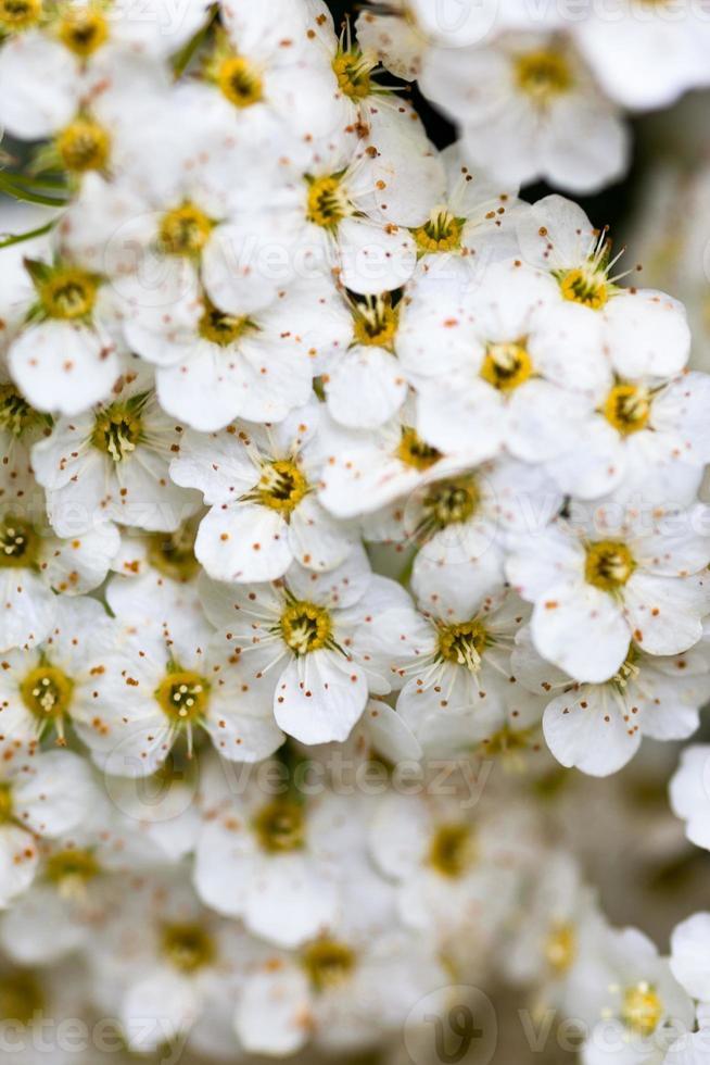fleurs de spiraea blanches photo