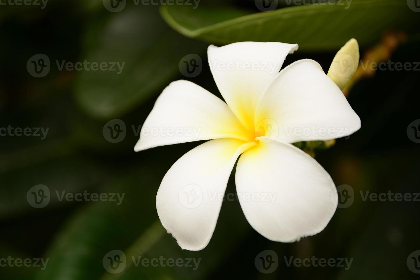 plumeria alba photo