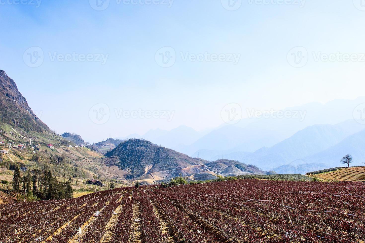 champs de fleurs, culture en terrasses, sapa, vietnam photo