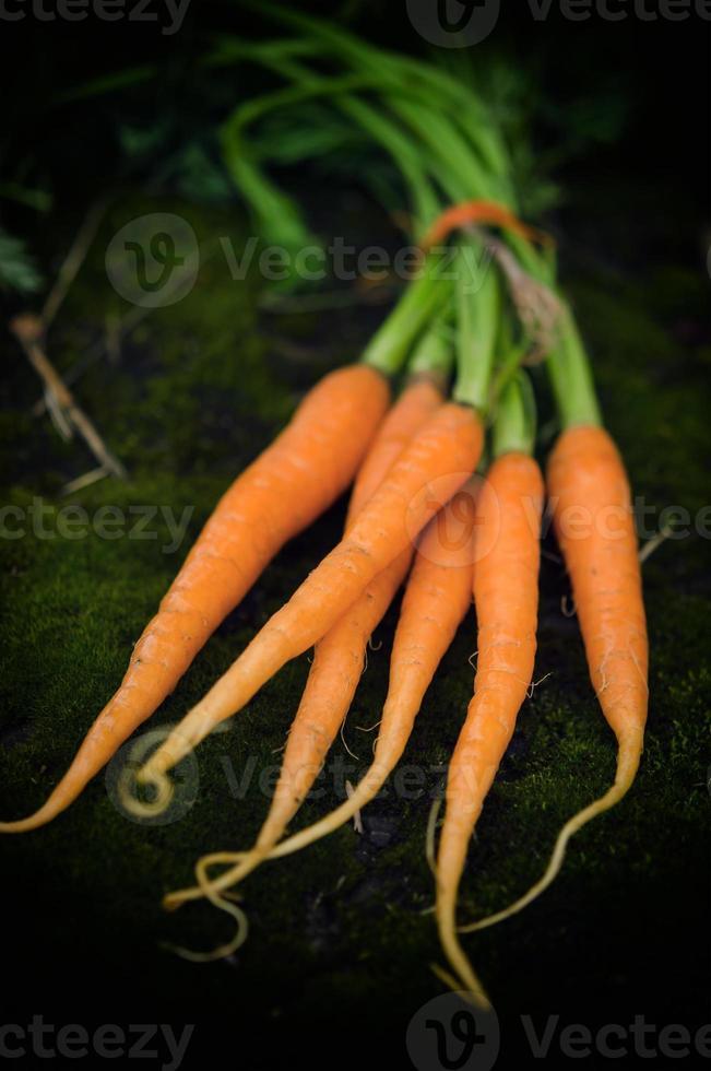 carottes fraîchement récoltées photo