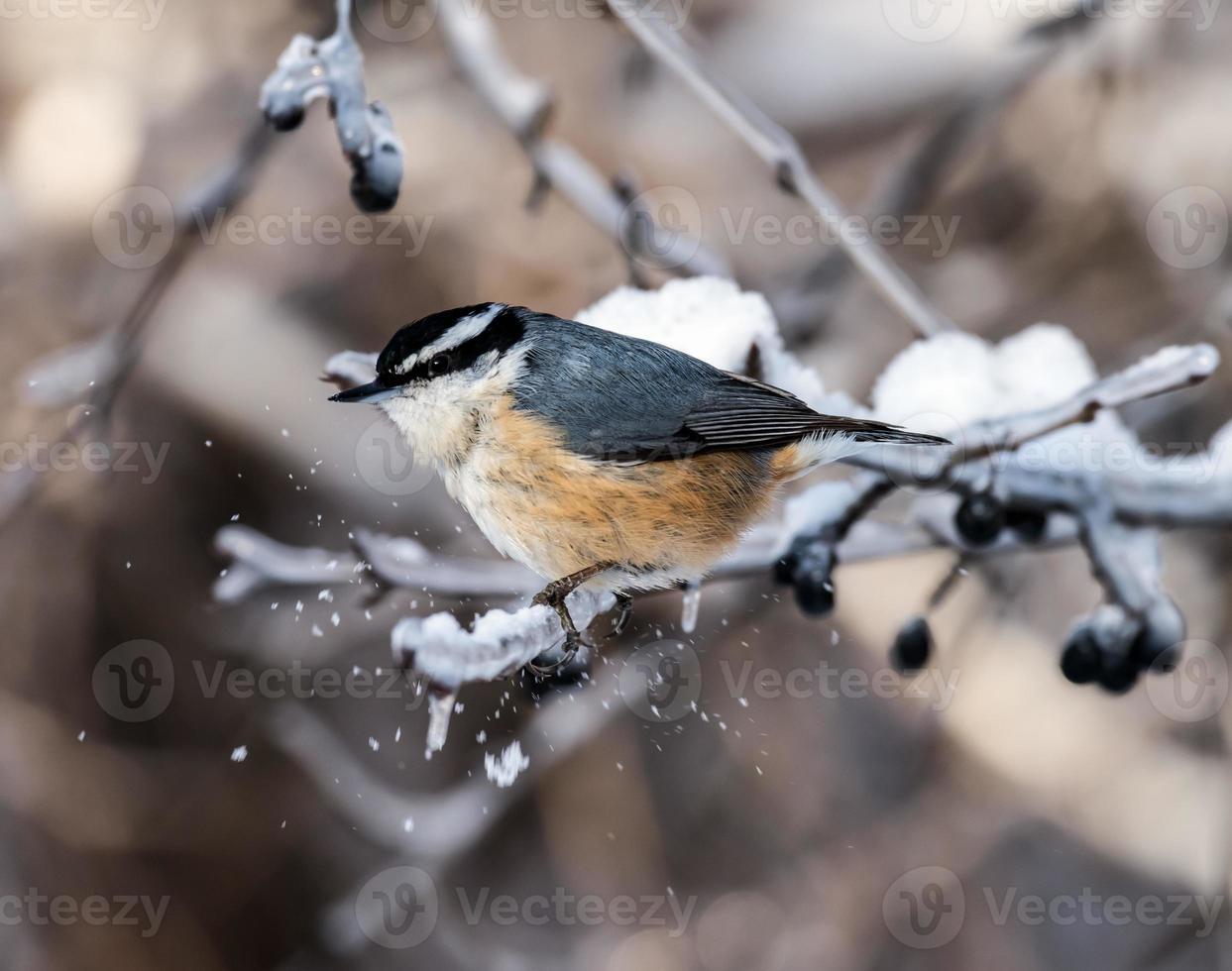 Sittelle à poitrine rousse en hiver photo