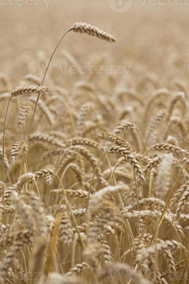 blé photo