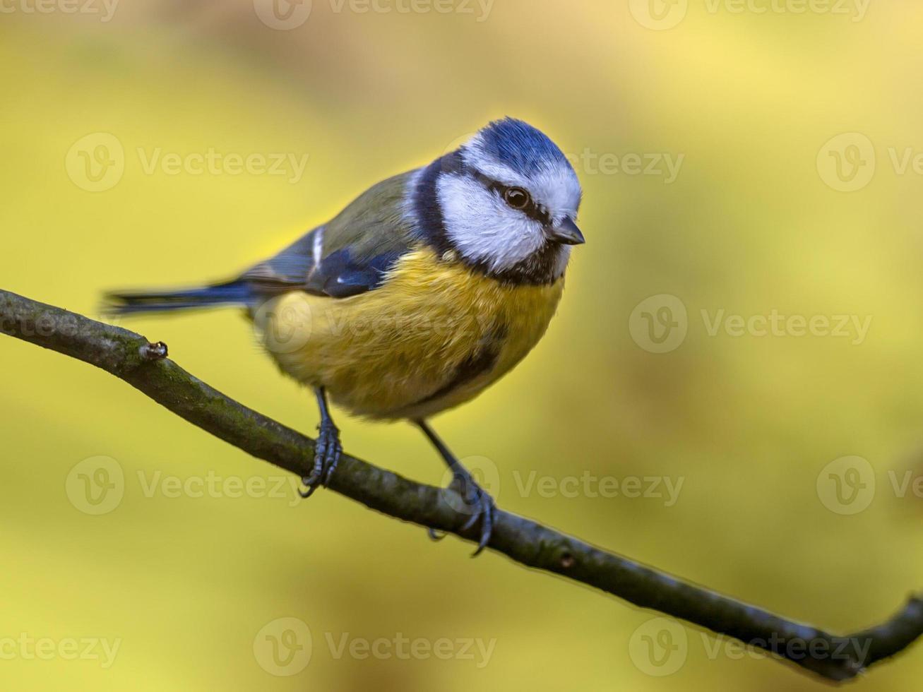 concept d'automne mésange bleue photo